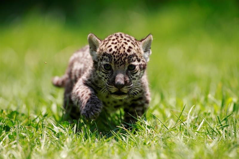 cria de jaguar