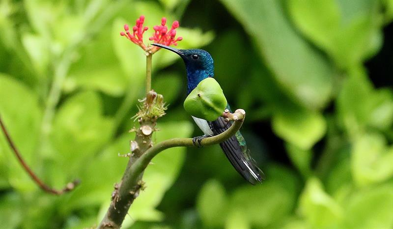 florisuga mellivora, comúnmente denominado colibrí