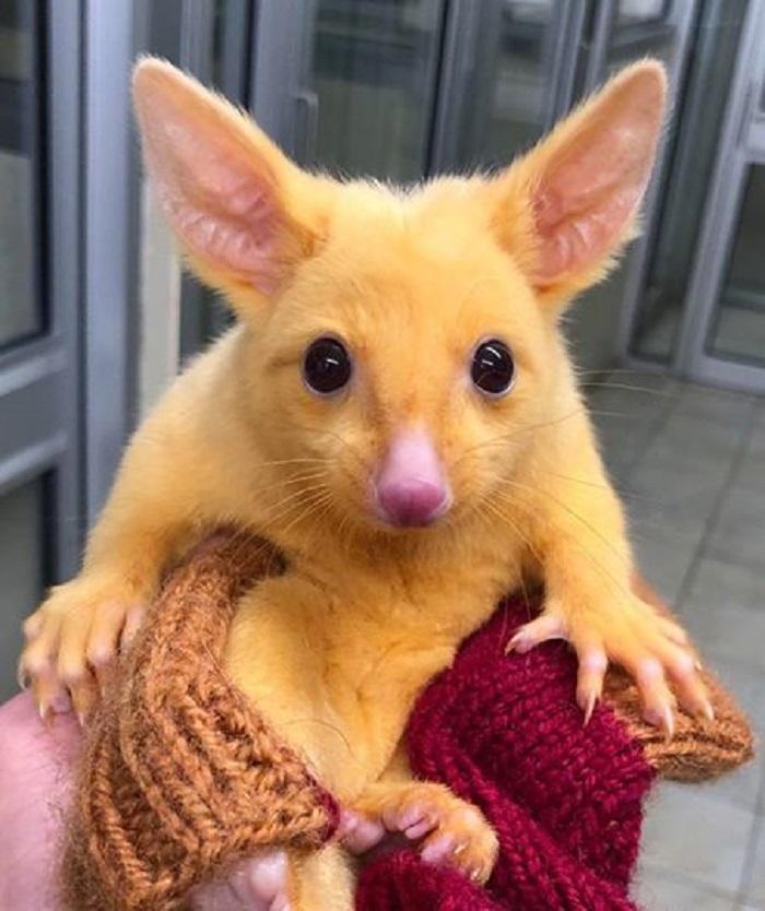 pikachu australia